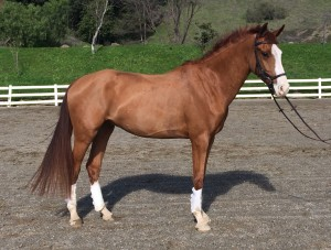 Lucazade - 2012 registered Oldenburg gelding